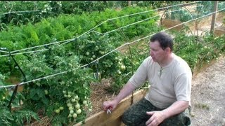 Как нормировать количество плодов томатов открытого грунта(Подробнее я описал в статье: http://svoitomaty.ru/normirovanie-kolichestva-plodov-tomatov-otkrytogo-grunta-s-celyu-druzhnoj-otdachi-urozhaya Как я уже ..., 2013-07-08T08:56:49.000Z)