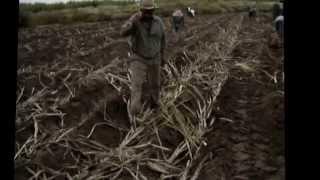 Como se planta la caña de azucar en tala jalisco