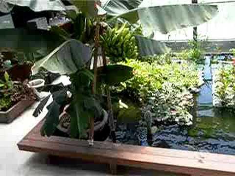 Banana hydroponics fish and plants aquaponics for Hydroponics and fish
