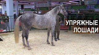 Упряжные лошади. Выставка Золотая Осень-2017