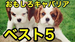 キャバリア・キングチャールズ・スパニエルのおもしろ動画ベスト5 ーー...