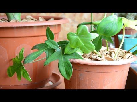 Комнатное растение.  Филадендрон дольчатый или гитаролистный.