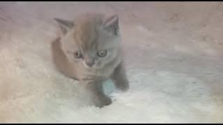 Голубой котенок играет с дразнилкой
