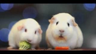 Existential Crisis Guinea Pig