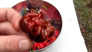 A small Chili harvest in april.
