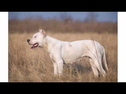 Dogo argentino - facts, habitat, diet and size with pictures