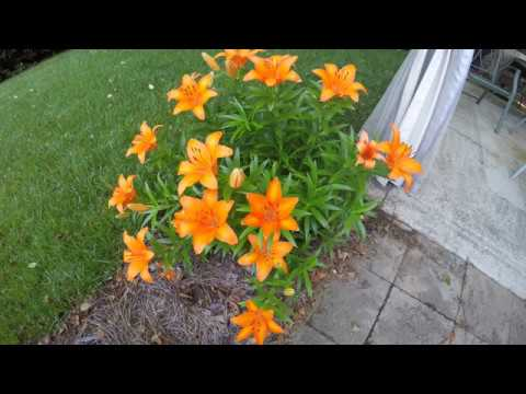 Asiatic Lily blooming time lapse