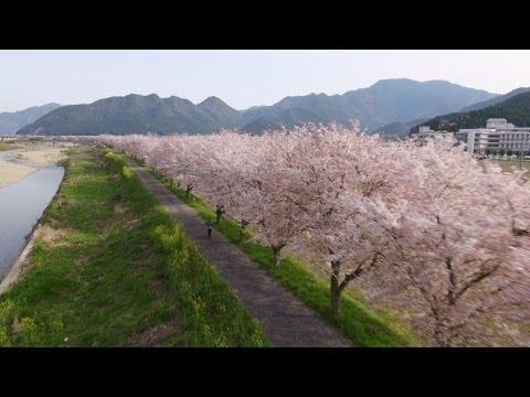 丹波市氷上町の桜並木を低空撮影...