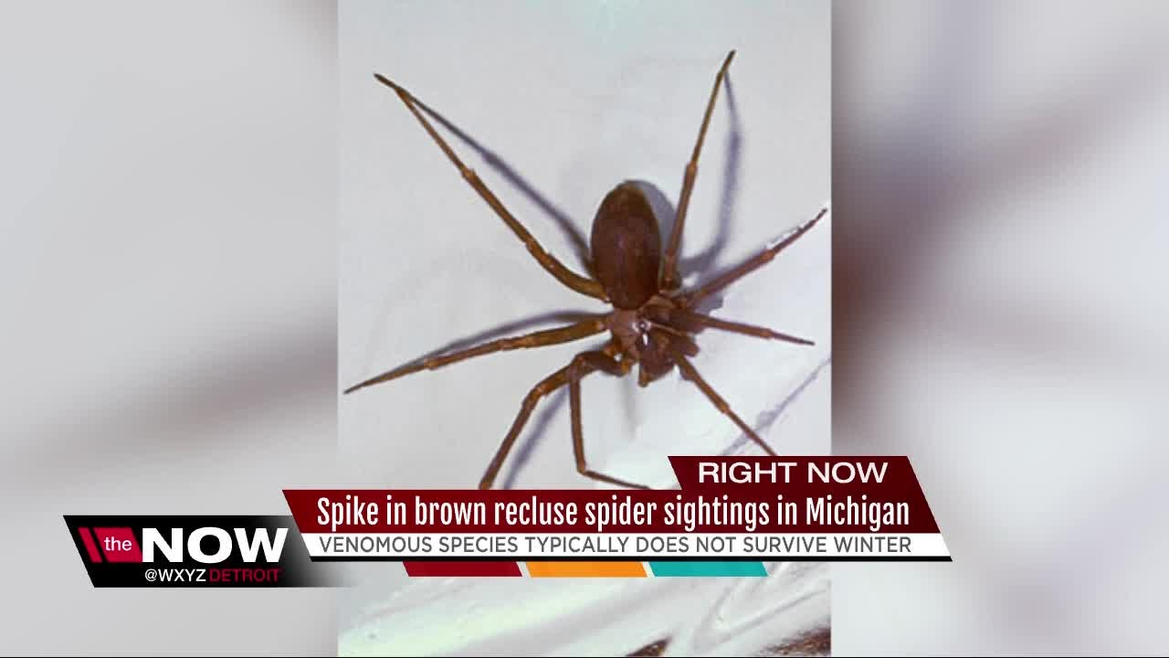 Spike In Brown Recluse Spider Sightings In Michigan Youtube