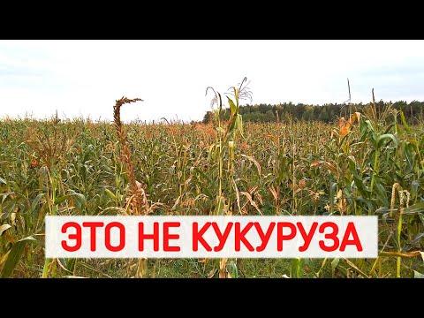Ищу сладкую кукурузу на поле! Как купить и отличить сладкую кукурузу Бондюэль. Сахарная кукуруза