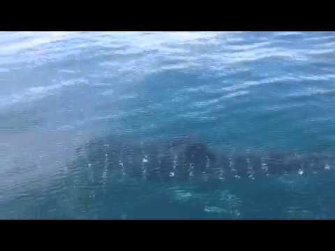 Whale Shark near Pensacola FL Pass