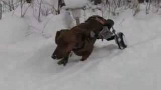 Clark's Winter Delights - Dachshund With Dog Wheelchair In The Snow!