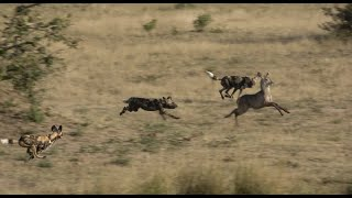 Wild dogs Hunting Waterbuck