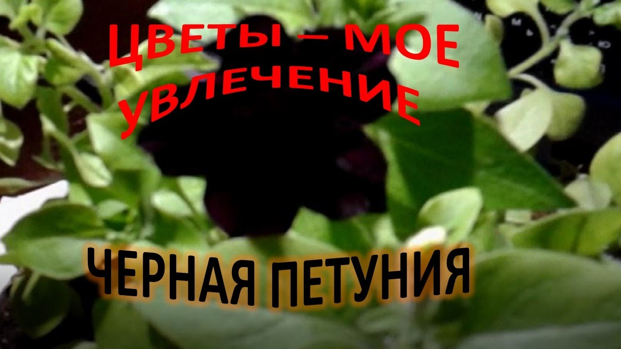 О цветах всё и всем Петуния уход и выращивание в