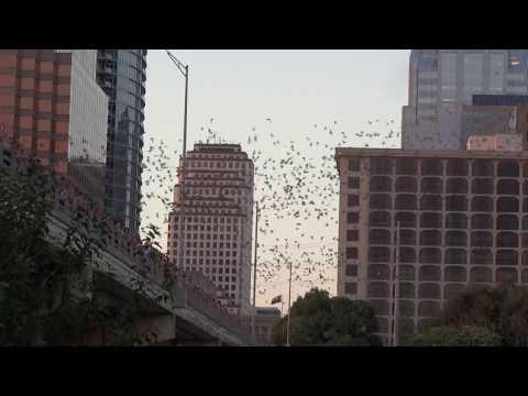 2017-08-21- Austin, TX bat emergence from the Congress Ave Bridge