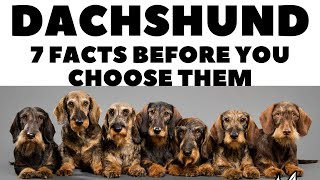 Before you buy a dog  DACHSHUND  7 facts to consider!  DogCastTv