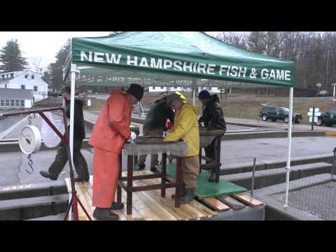 Fin Clipping NH Trout