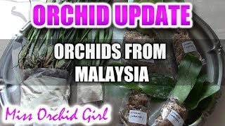 Ordering Orchids from Malaysia - Maxillaria, Brassavola and Phalaenopsis Species