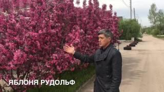 видео Декоративная яблоня сорта и отзывы