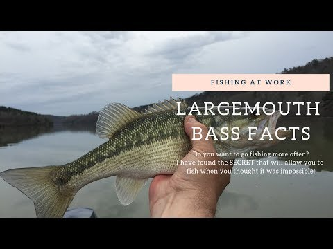 Largemouth Bass Facts That Will Catch More And Bigger Bass!