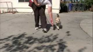 Loose Leash Walking: Clicker Dog Training - Shapefest 2012