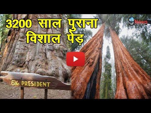 दुनिया का ये विशाल पेड़ 3200 साल पुराना है, नाम है 'द प्रेसिडेंट' | 'The President Tree'