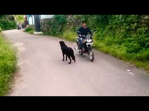 Real Bhotiya dog(Himalayan sheep dog) barking at Lion