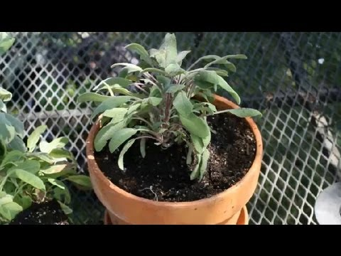Caring For & Trimming Of Purple Sage : Planting Herbs