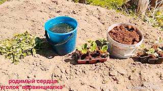 ТЫКВА— посадка тыквы рассадой в открытый грунт...