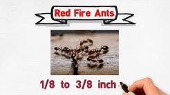 Ant Control Services in Miami Dade County, FL ( Carpenter - Red Fire - Pavement Ants )