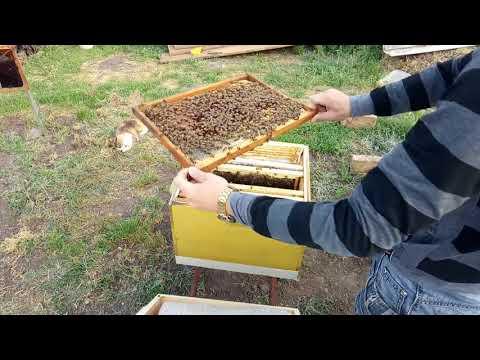 ч.1 Развитие Пчелопакета в 2018году (карпатка)