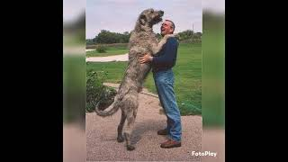 the tallest dog breed         Irish wolfhound