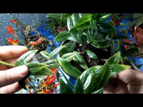 Комнатные растения - колумнея. Такие разные и красивые.🍀🍀🍀