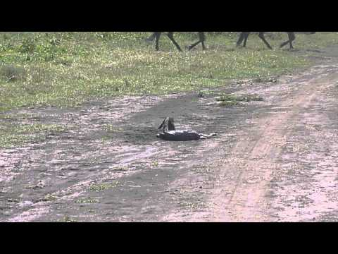 New born wildebeest at Ngorongoro Conservation Area (part 1)