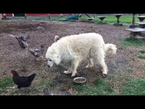 Relentless chickens raid dog's food bowl in hilarious compilation
