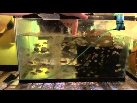 Tilapia Breeding & Farming Tank Set Up