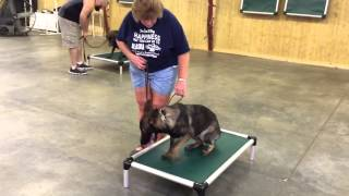 """Red Sable German Shepherd """"ivana"""" Obedience Protection Trained Family Raised Dog For Sale"""