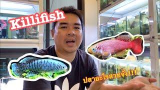 ปลาคิลลี่ฟิช killifish ปลาอะไรสวยยัง !!!