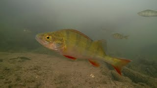 River Lea Lee Underwater Towpath Fishery Perch Roach Dace 2