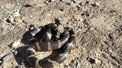 King snake vs Rattlesnake Oro Valley Az.