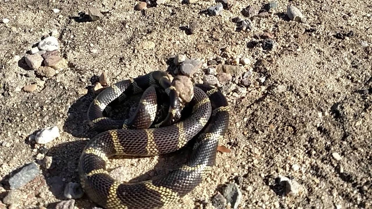 Kingsnakes versus Rattlesnakes | Arizona Daily Independent |King Snake Vs Rattlesnake