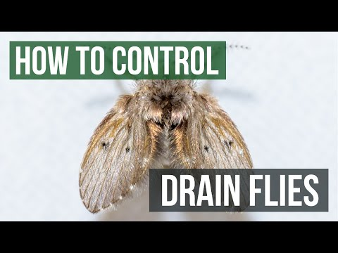 How to Control Drain Flies by Solutions Pest Control