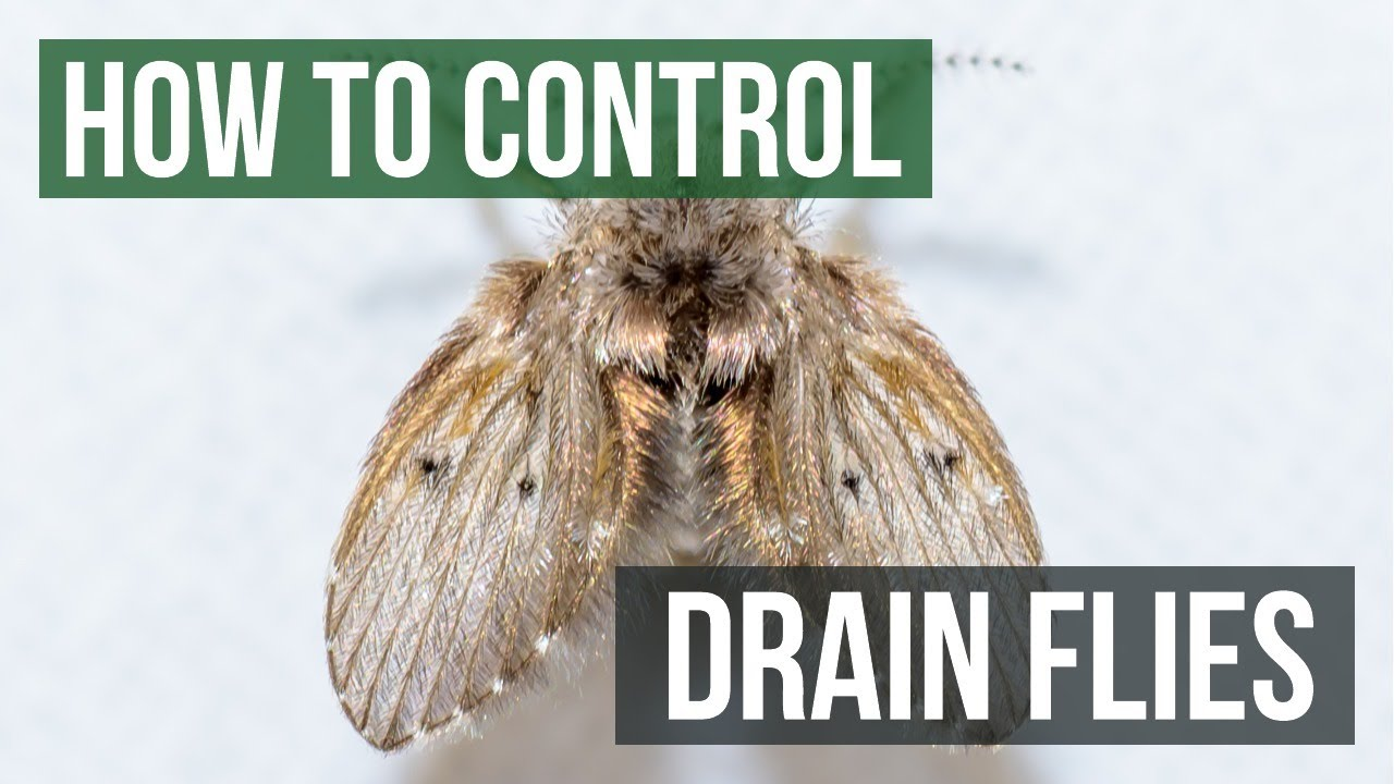 How to Control Drain Flies
