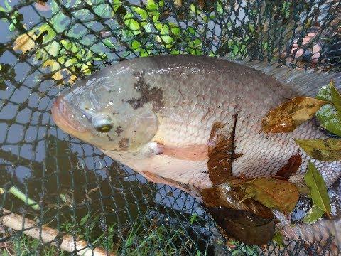 Panen Ikan Gurame di kolam belakang rumah, besar-besar mantap.