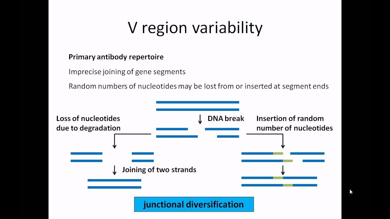 Antibody structure and function - YouTube
