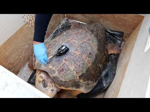 Eliza Ann Sea Turtle Release