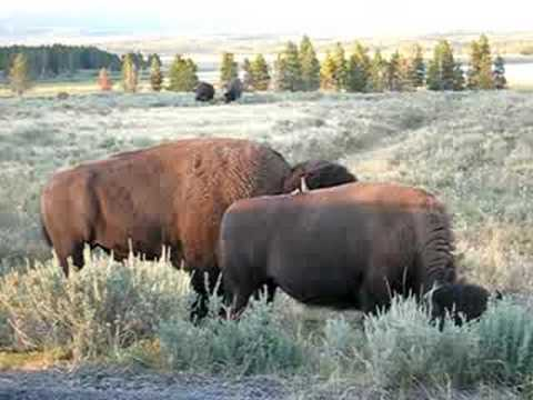Yellowstone Bison Mating Call