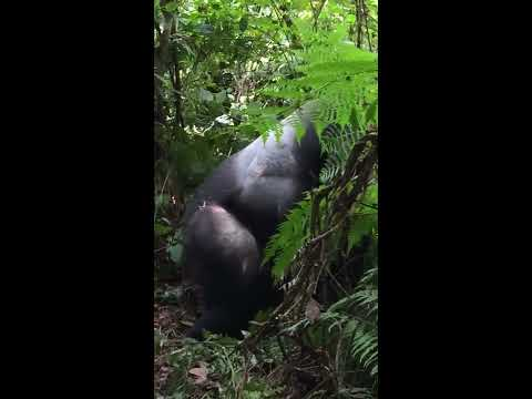 Wild Silverback Gorilla mating