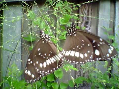 Brisbane Butterfly Romance
