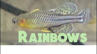 RAINBOWS- BREEDING - SPAWNING! - Dwarf Rainbows-Spawning - Pseudomugil Gertrudae #rainbow fish